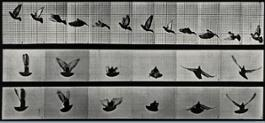 A cockatoo flying,  Eadweard Muybridge, 1887 m
