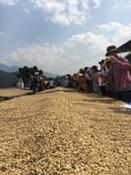 Yunnan Coffee Farm (1)