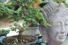 Mostra bonsai1