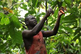 cocoa-farming-cte-divorie 16241775994 o