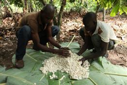 cocoa-farming-cte-divorie 16838273686 o