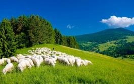 FAKRO sheeps 2
