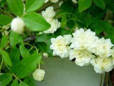 Rosa-Banksiae-Alba-Plena