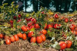Casalasco - pomodori campo