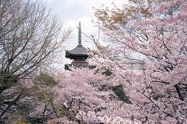 Tokyo Ueno ciliegi (C)JNTO   (C)Taito City