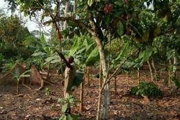 Cocoa tree pruning